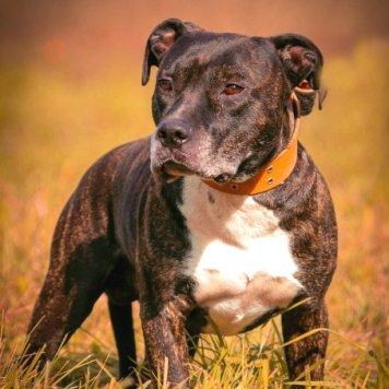Харли - Собаки в добрые руки