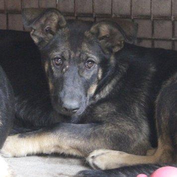 Шайя - Собаки в добрые руки
