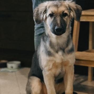 Олси - Собаки в добрые руки
