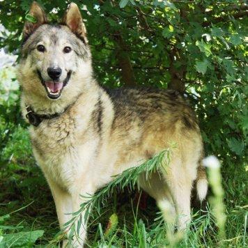 Волчик - Собаки в добрые руки