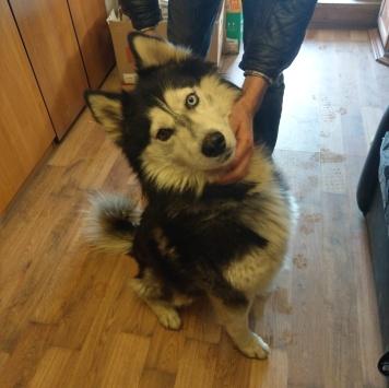 хаски - Найденные собаки