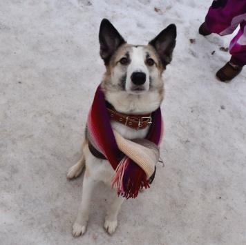 Бирма - Найденные собаки