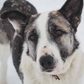 Байкал - Найденные собаки
