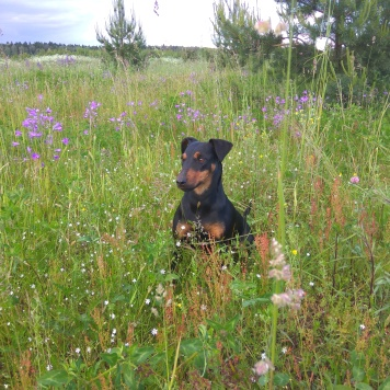 Ягдтерьер девочка - Пропавшие собаки