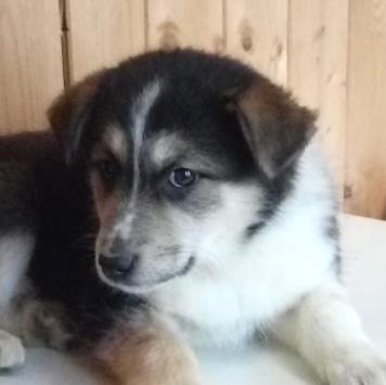 Аляска - Собаки в добрые руки