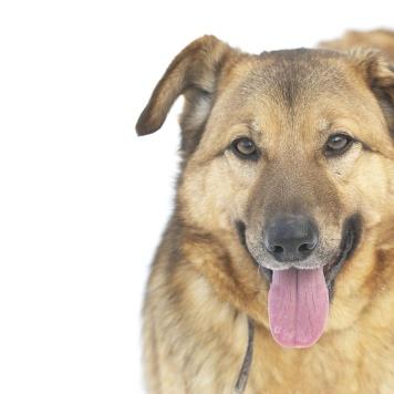 Брэди - Собаки в добрые руки