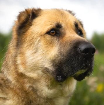 Самир - Собаки в добрые руки