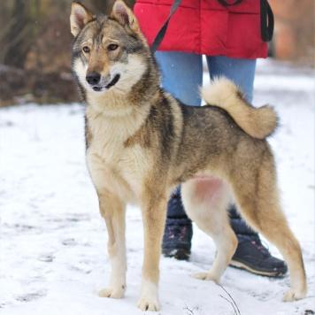 Лайка - Собаки в добрые руки