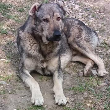 Алабай - Собаки в добрые руки