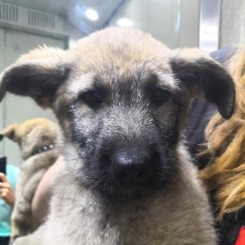 Сия - Найденные собаки