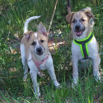 Арья и Санса - Собаки в добрые руки