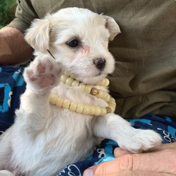 Тибетский терьер - Собаки в добрые руки