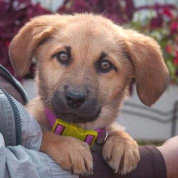 Голди - Собаки в добрые руки