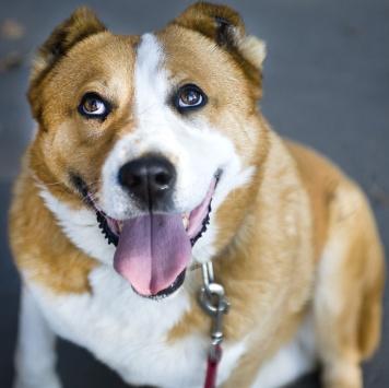 Бостон - Собаки в добрые руки