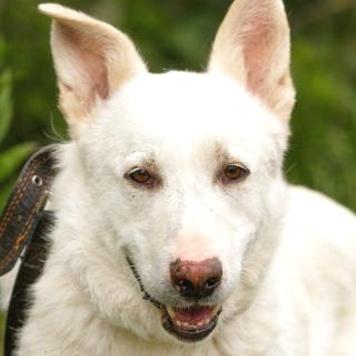 Беляш - Собаки в добрые руки
