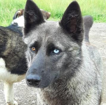 Хаси - Собаки в добрые руки