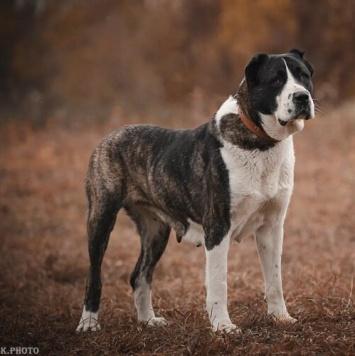 Кайсан - Собаки в добрые руки