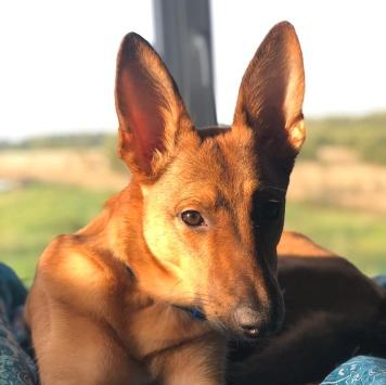 Лопушок - Собаки в добрые руки