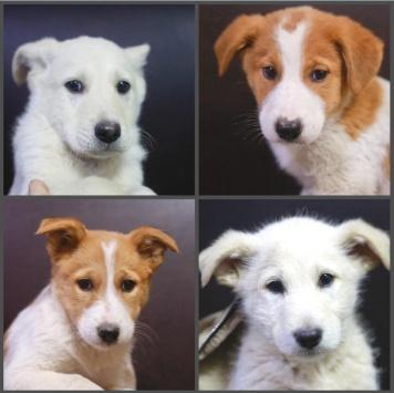 Белый - Собаки в добрые руки