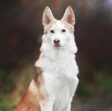 Ласпи - Собаки в добрые руки