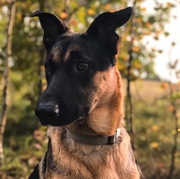 Сэм - Собаки в добрые руки