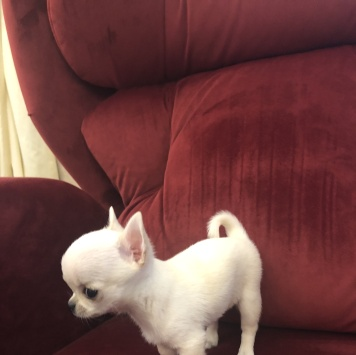Щенок Чихуахуа - Собаки в добрые руки