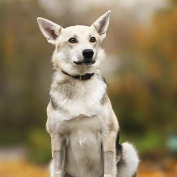 Сильва - Собаки в добрые руки