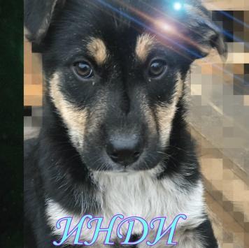 Инди - Собаки в добрые руки