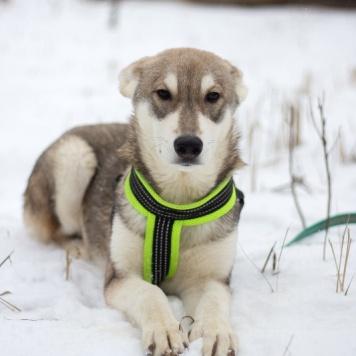 Грей - Собаки в добрые руки