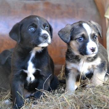 Щенки гончей - Собаки в добрые руки