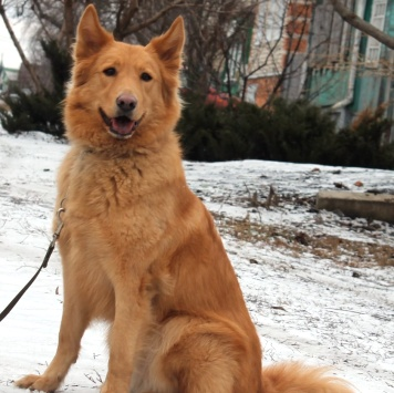 Рыжуля - Собаки в добрые руки