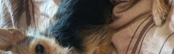 Гизмо - Собаки в добрые руки