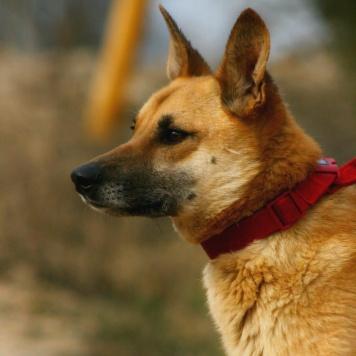 Голдик - Собаки в добрые руки