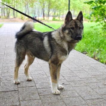 Якут - Собаки в добрые руки