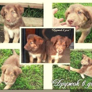 Шоколадный щенок - Собаки в добрые руки