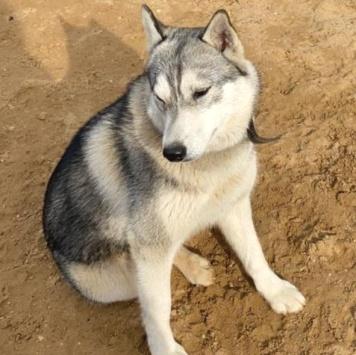 Хан - Собаки в добрые руки