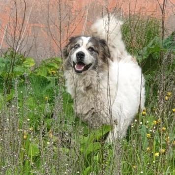 ТолстОй - Собаки в добрые руки