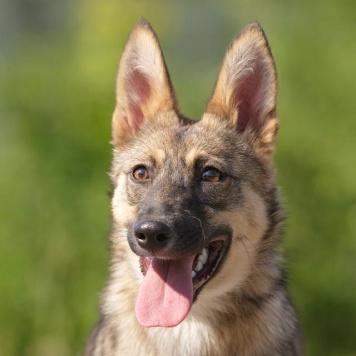 Ива - Собаки в добрые руки