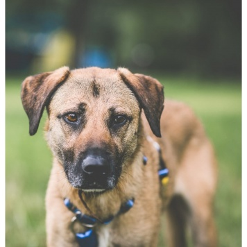 Алана - Собаки в добрые руки