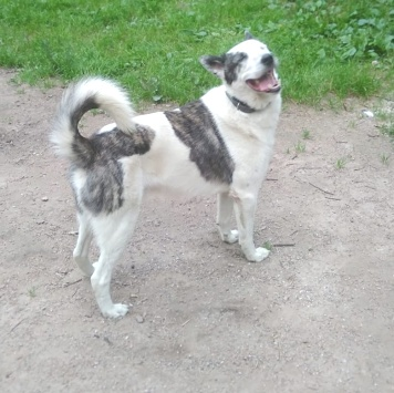 Нордик - Собаки в добрые руки