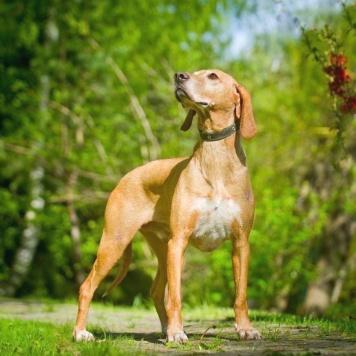 Руперт - Собаки в добрые руки