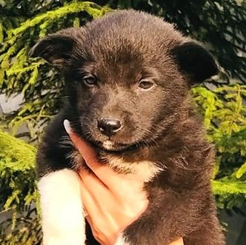 Шана - Собаки в добрые руки