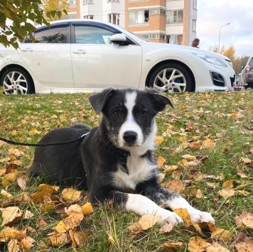 Шайли - Собаки в добрые руки
