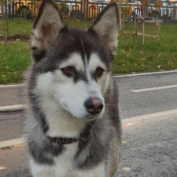 Тайга - Найденные собаки