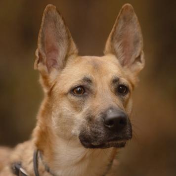 Сирень (Сири) - Собаки в добрые руки