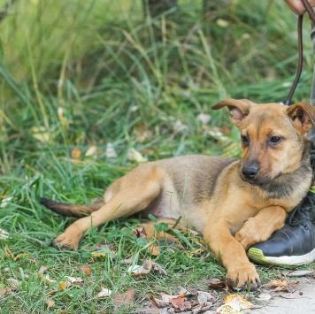Необычный щенок Акиша - Собаки в добрые руки