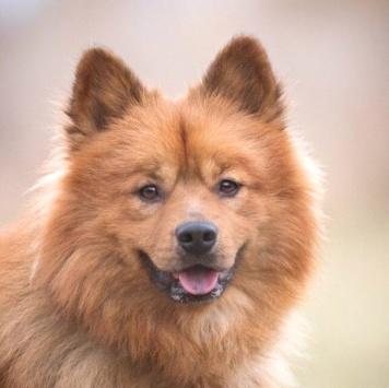 Лис - Собаки в добрые руки