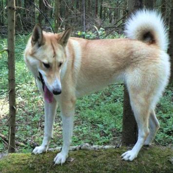 Лача-лайка - Пропавшие собаки