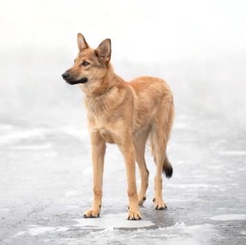 Рамси - Собаки в добрые руки