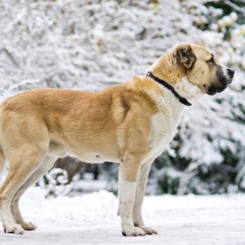 Мансур - Собаки в добрые руки